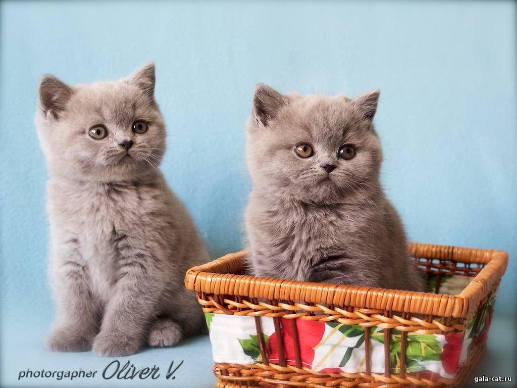 для британские котята от рождения до года фото навесы