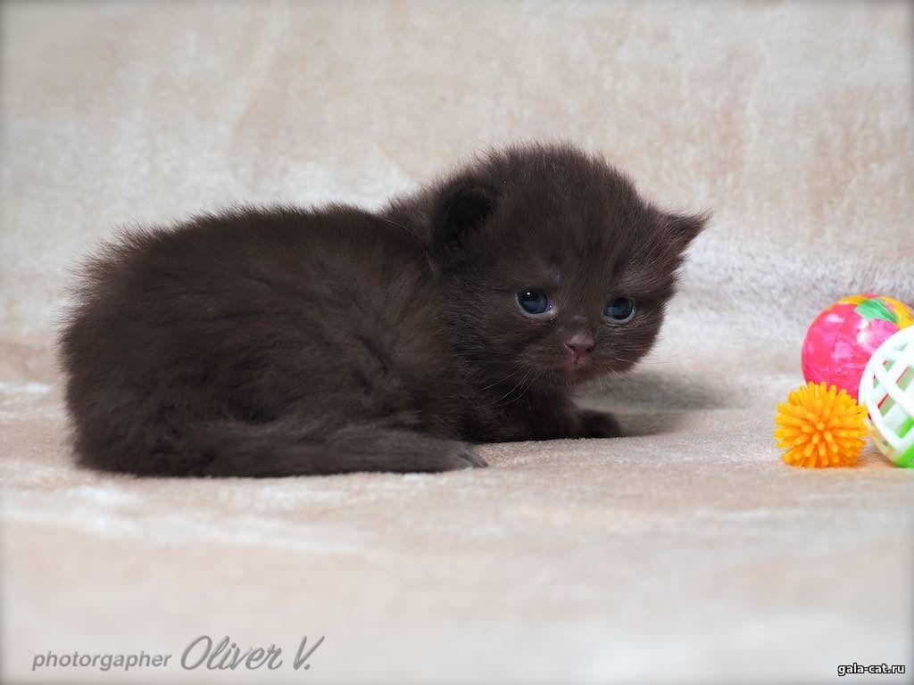 британские котята от рождения до года фото может занять некоторое