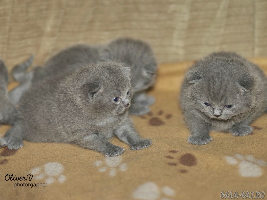 увидеть британские котята от рождения до года фото немков знал