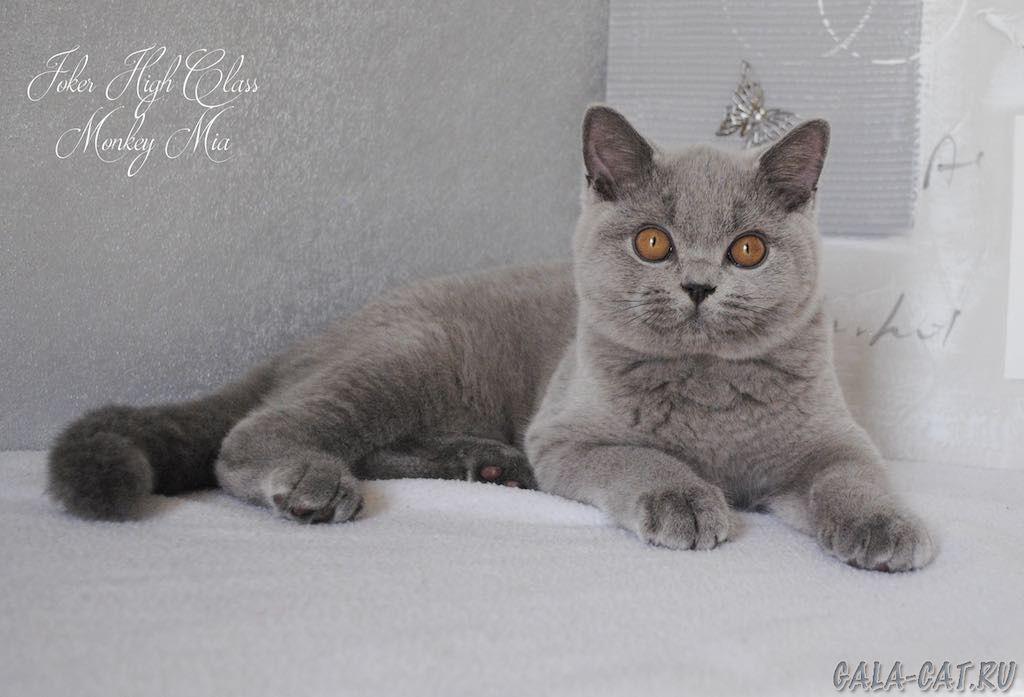 Британские котята от рождения до года фото