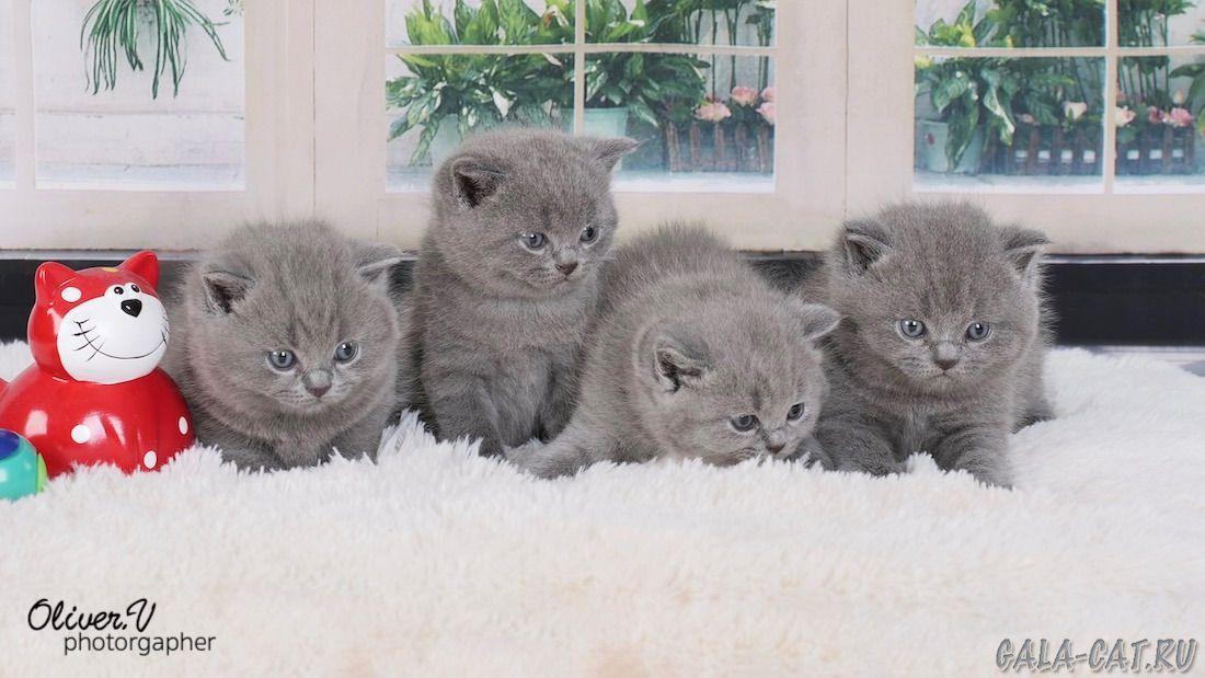 британские котята от рождения до года фото строения