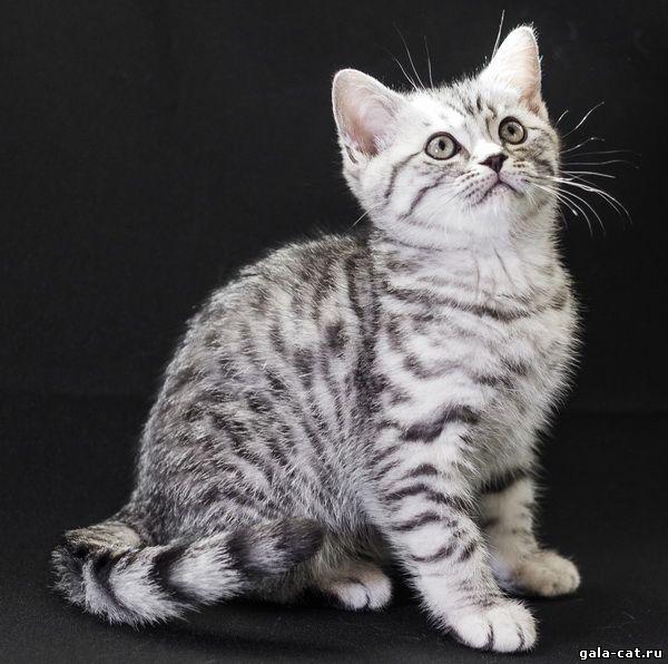 Британские серебристые котята из питомника gala-cat.ru