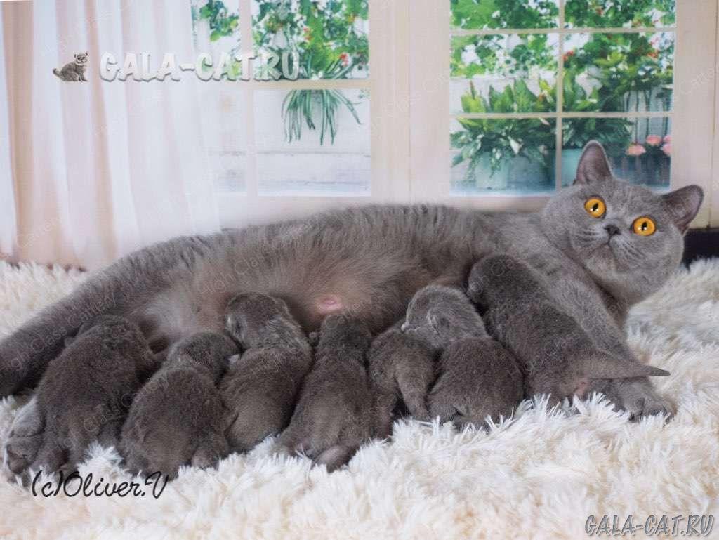 Британским котятам 5 дней, Litter- K2