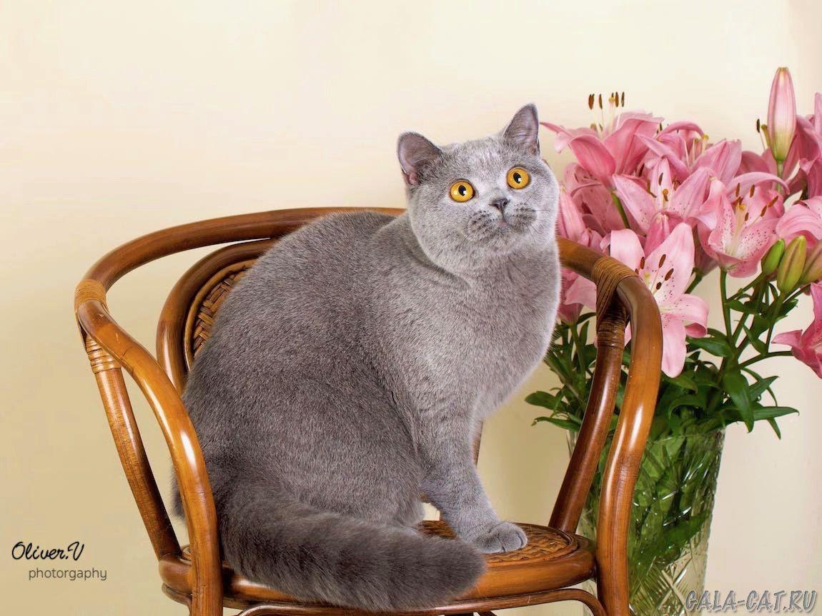 Британская кошка Juna High Class*RU, BSH а
