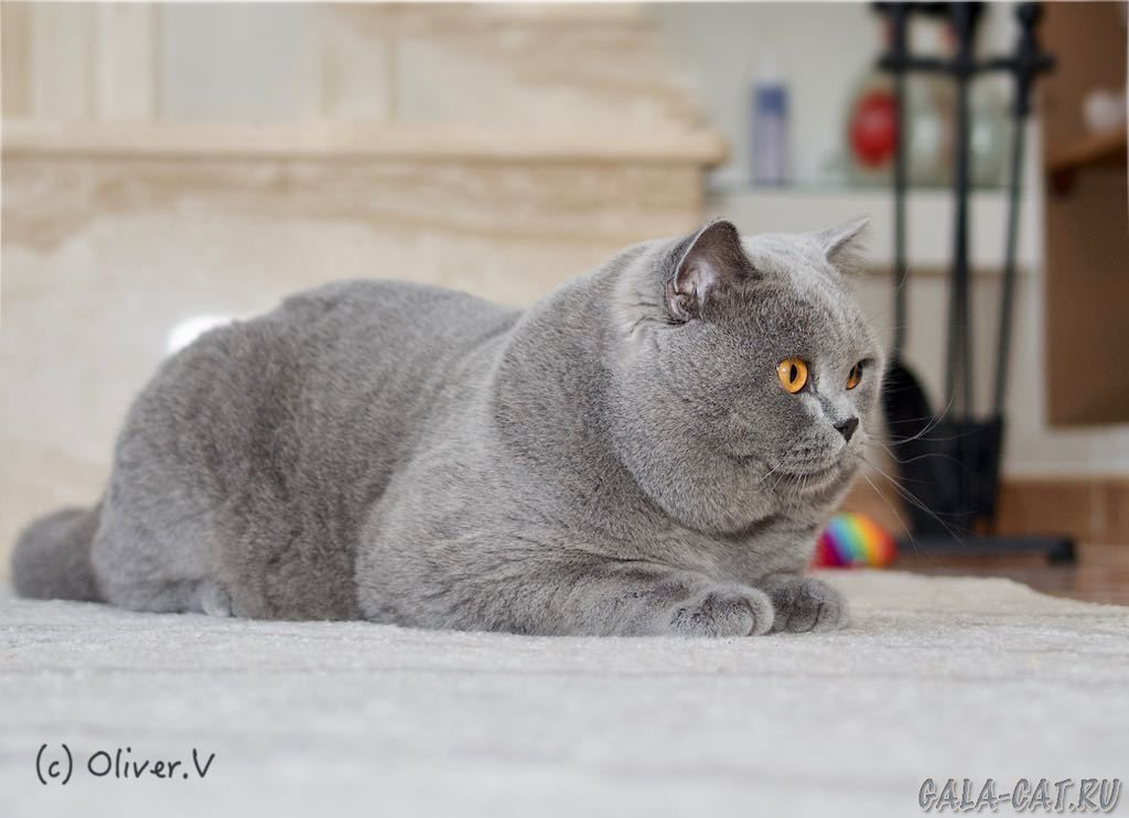 Британский кот ICh.Tanzanit Zakhar, BSH а