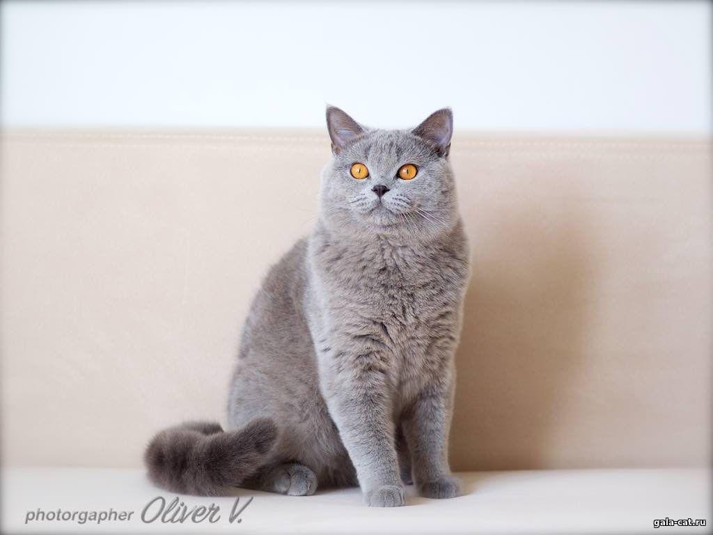Британский голубой кот Tanzanit Zakhar, 10 мес.