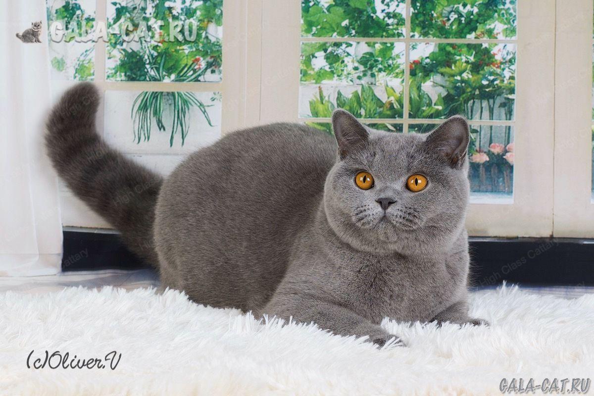 Британская кошка Irma High Class*RU