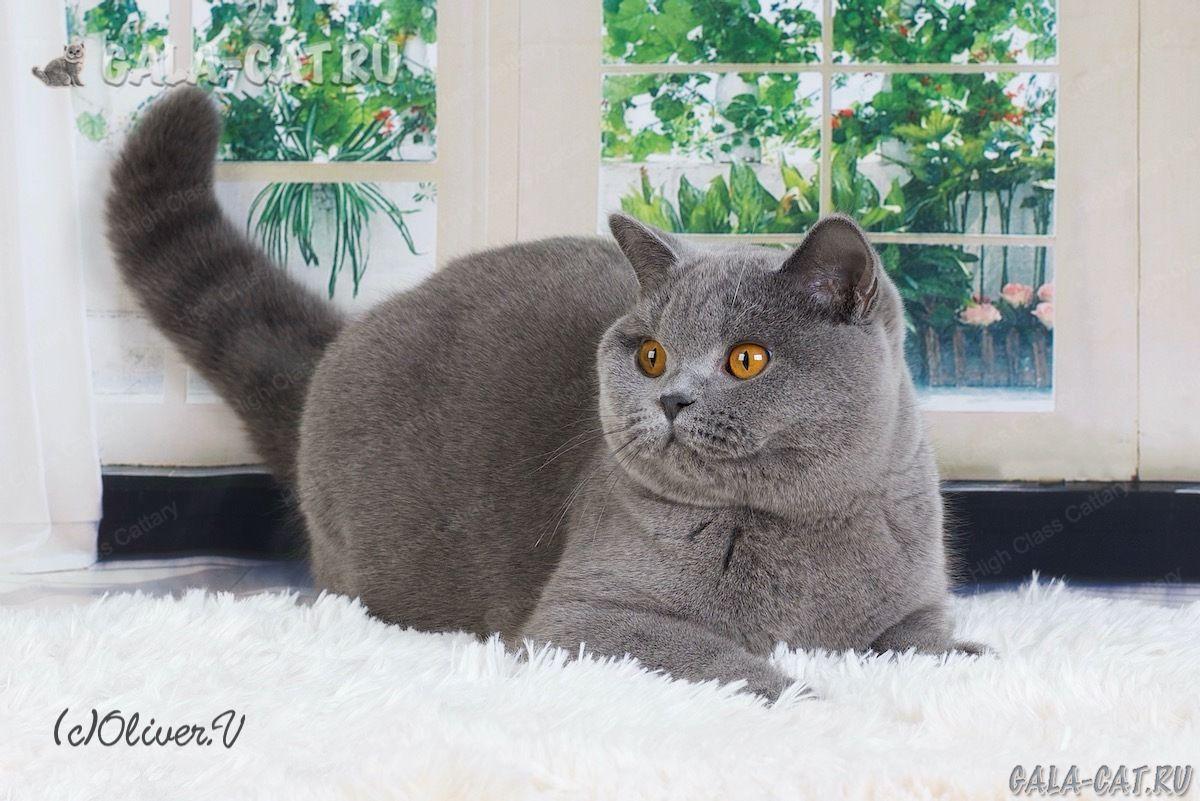 Британская кошка Irma High Class*RU, BSH а