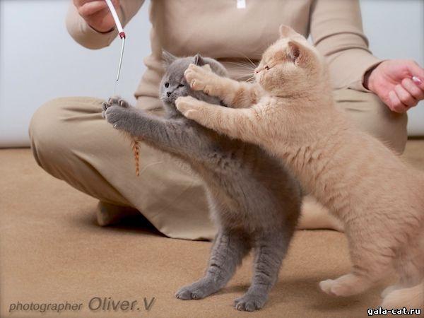 Британские котята gala-cat.ru