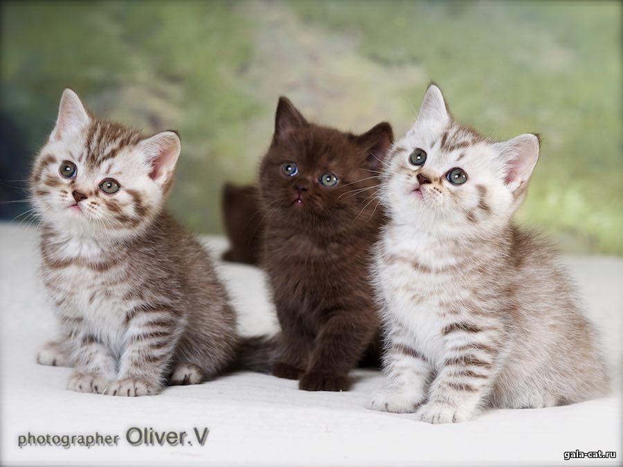 Британские котята серебристых окрасов