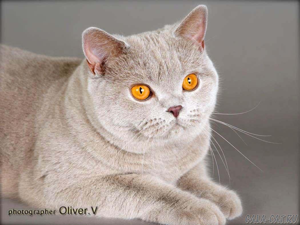 Британская кошка Roxy High Class*RU, BSH c