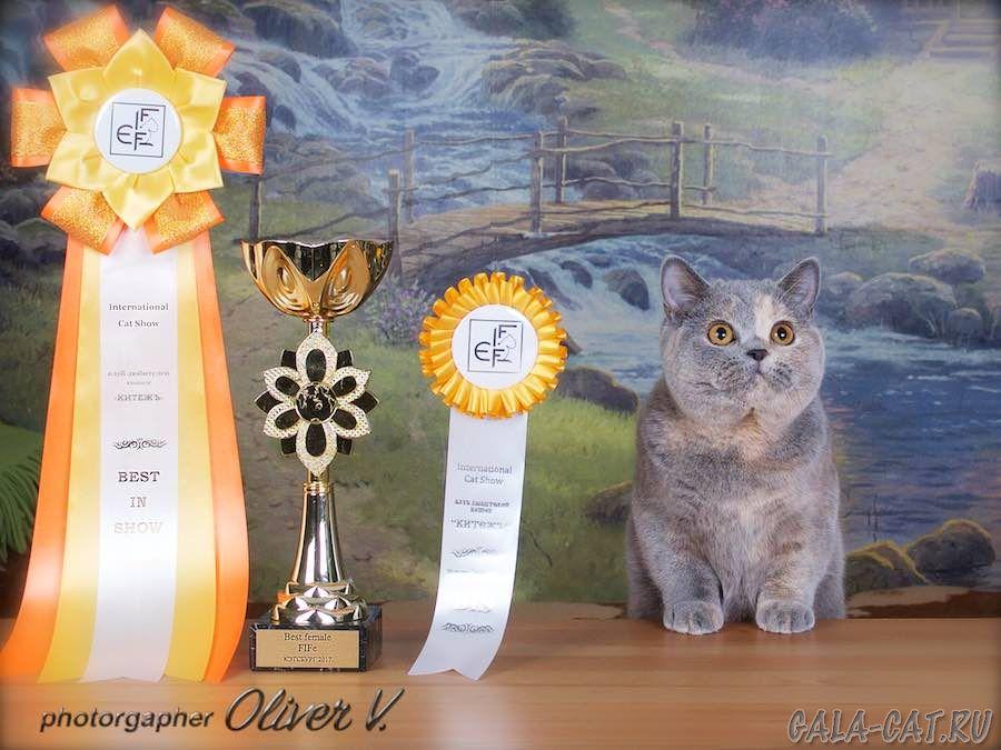 Британская голубо-кремовая кошка