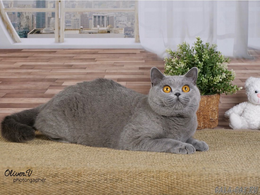 Британская кошка Wilma Tin Arden