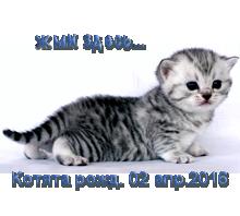 Британские серебристые котята рожд. 02.04.2016