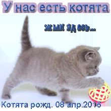 Британские котята рожд. 08.04.2016