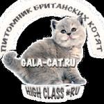 британский котенок из питомника GALA-CAT